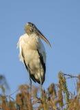 Hölzerner Storch, (Mycteria Americana) gehockt im Baum Lizenzfreies Stockbild
