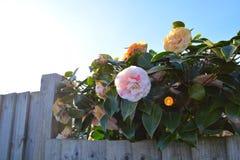Hölzerner Zaun und Blumen Lizenzfreies Stockfoto