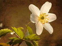 Hölzernes anemon, strukturiertes Foto. lizenzfreies stockbild