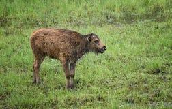 Hölzernes Büffel-Kalb Stockfotografie