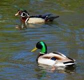 Hölzernes Duck Mallard Duck Lizenzfreie Stockfotos