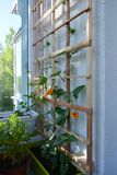 Hölzernes Gitter für Kletterpflanzen mit orange Blumen von Thunbergia lizenzfreies stockbild