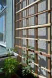 Hölzernes Gitter für Kletterpflanzen und wenig Thunbergia stockfoto