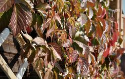Hölzernes Gitter mit roten Blättern von wilden Trauben lizenzfreie stockfotos