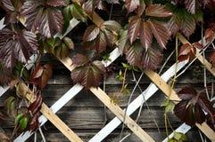 Hölzernes Gitter mit roten Blättern von wilden Trauben stockbilder