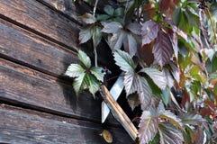 Hölzernes Gitter mit roten Blättern von wilden Trauben stockfoto