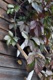 Hölzernes Gitter mit roten Blättern von wilden Trauben lizenzfreie stockfotografie