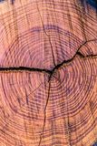 Hölzernes Harz Browns mit Jahresringen und Korn im Querschnitt lizenzfreies stockfoto
