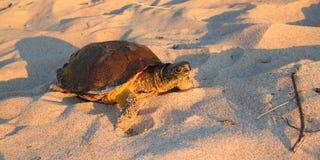 Hölzernes Schildkröte Glyptemys-insculpta Lizenzfreie Stockfotos