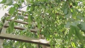 Hölzernes Treppenhaus im Garten, nahe einem Baum mit reifen roten Kirschen stock footage