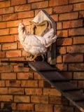 Höna framme av stallet Fotografering för Bildbyråer