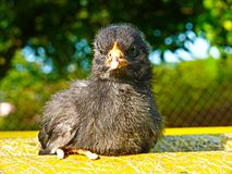 Höna - gallus f för Gallus för svart fågelungegallus inhemsk domestica Royaltyfri Foto