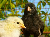 Höna - gallus f för Gallus för svartvit fågelungegallus inhemsk domestica Arkivfoton