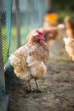 Höna i en farmyard royaltyfria bilder