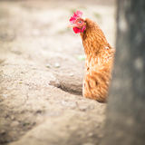 Höna i en farmyard royaltyfri foto