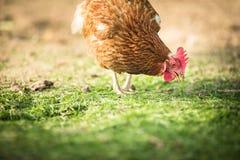 Höna i en farmyard royaltyfri bild