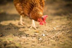 Höna i en farmyard royaltyfria foton
