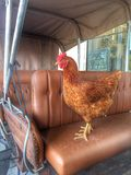 Höna i en vagn Royaltyfria Bilder