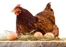 Höna i hö med ägg som isoleras på vit royaltyfria foton