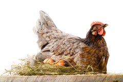 Höna med ägg som isoleras på vit arkivfoton