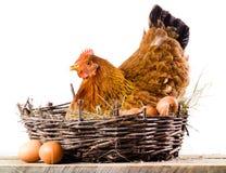 Höna med ägg som isoleras på vit royaltyfri foto