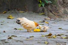 Höna med dess behandla som ett barn fågelungar Arkivfoton