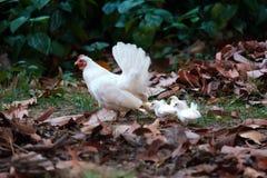 Höna med fågelungar på fältet royaltyfri foto