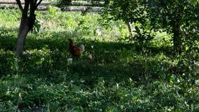 Höna med fågelungen går i grönt gräs lager videofilmer