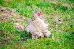 Höna med små fågelungar på grönt gräs arkivfoton