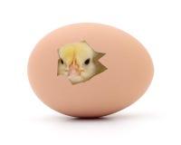 Höna och ägg Arkivbild