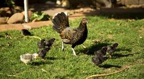 Höna och fågelungar Royaltyfria Bilder