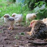Höna och fågelungar Royaltyfri Fotografi