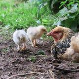 Höna och fågelungar Arkivfoton