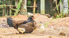 Höna och fågelungar Royaltyfria Foton