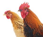 Höna och hane Arkivbild