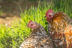 Höna och rooster Royaltyfria Bilder