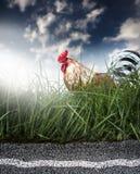 Höna och väg Fotografering för Bildbyråer