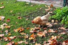 Höna på gräsmattan i staden Royaltyfri Fotografi
