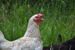 Höna som går på gårdsplanen Barnet blir rädd stående bara på ladugårdgård med den fega coopen Royaltyfri Foto