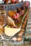 Hönan eller hönan i lantgård med ägg Arkivfoto