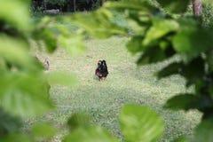 Hönor i trädgård royaltyfri foto