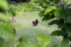 Hönor i trädgård arkivfoton