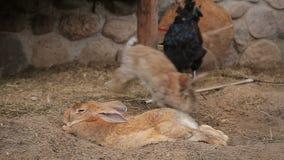 Hönor och kaniner i en coop stock video
