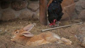 Hönor och kaniner i en coop arkivfilmer