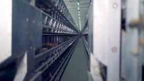 Hönor petar deras huvud ut ur burarna i en voljär lager videofilmer