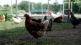 Hönor som går på gårdsplan i boskaplantgård Fegt lantbruk Fågellantgård stock video