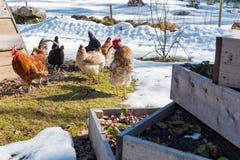 Hönor som går ut i en trädgård med gras och snö royaltyfria bilder