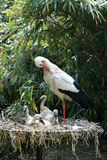 hönor som gör ren storken Arkivbild