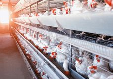 Hönseriet hönor sitter i frilufts- burar och äter blandad matning, på ägg för ` s för transportbandlögnhönan, det moderna lantbru royaltyfri foto