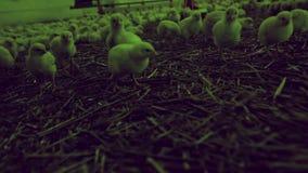 Hönsproduktion för feg lantgård stock video